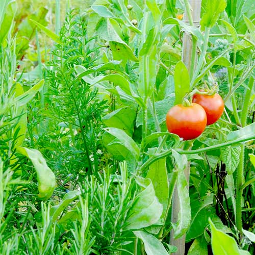 tomaten auspflanzen tomaten archive garten mix jetzt. Black Bedroom Furniture Sets. Home Design Ideas